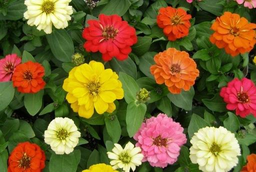 Zinnia_flower (5)